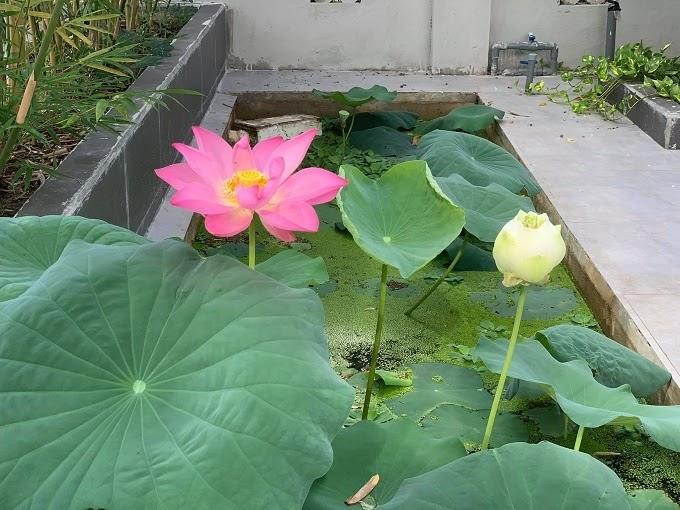 Hồ sen xinh xắn bên trong ngôi nhà vườn.